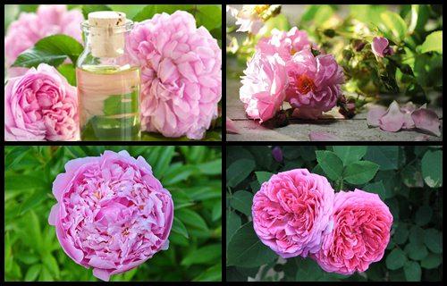 aceite esencial de rosa demascena