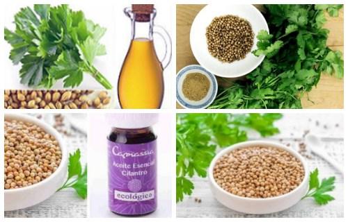 elaboracion de aceite de cilantro